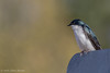 Tree Swallow, March 21 2012, Sandbanks Provincial Park
