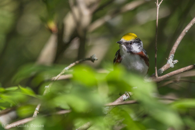Chestnut-sided Warbler, May 18 2012, Prince Edward Point