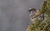 Sparrow, Belleville back yard, Jan 31 2012