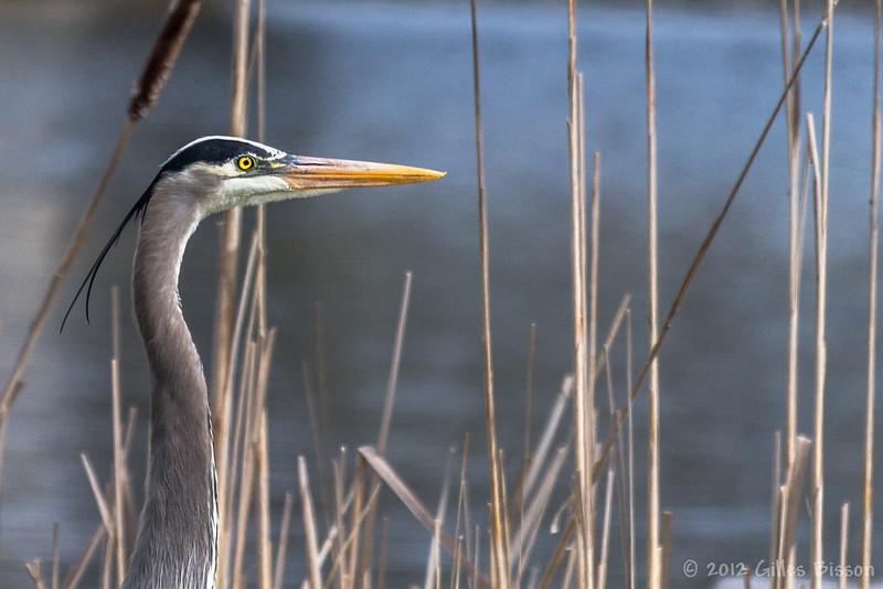 Great Blue Heron, April 30 2012, Moira River