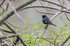 Black-throated Blue Warbler, May 10 2012, Presqui'ile Provincial Park