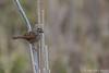 Swamp Sparrow, April 26 2012, Frink Centre
