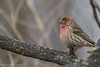 House Finch, Jan 11 2012, Amherst Island