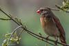 Female Northern Cardinal, April 04 2012, Belleville