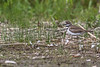 Killdeer, May 27 2012, Bay of Quinte