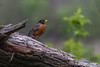 American Robin, May 09 2012, #3213,Canon T3i-1/320-F5.6-ISO400