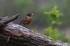 American Robin, May 09 2012, #3213,Canon T3i-1/320-F5.6-ISO400