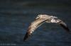 Herring Gull, September 20 2012, Presqu'ile Provincial Park