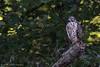 Broad-winged hawk, Sept 17 2012, Moira River