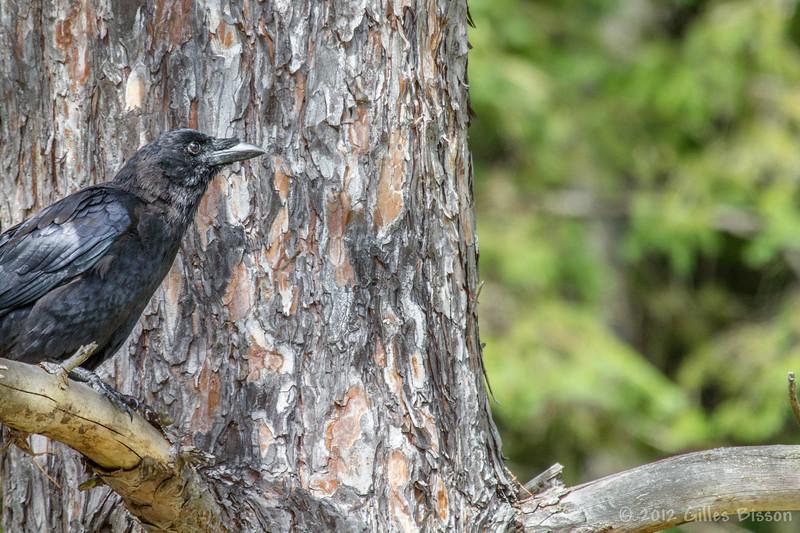 American Crow, September 26 2012, Algonquin Park