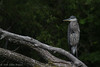 Great Blue Heron, July 19 2012, Bay of Quinte