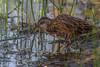 Virginia Rail, July 31 2012,Frink Centre