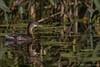 Juvenile Pied-billed Grebe, September 17 2012, Moira River