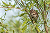 Song Sparrow, June 05 2012, Presqu'ile Provincial Park