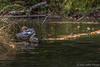Common Merganser, September 24 2012, Algonquin Park