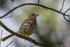 Brown Thrasher, June 05 2012, Presqu'ile Provincial Park