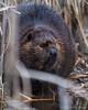 Beaver, December 17 2012, Frink Centre4