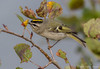 Golden-crowned Kinglet, October 09 2012, Prince Edward Point