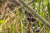 Raccoon, Presqu'ile Provincial Park, May 15 2013, #8780