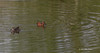 Cinnamon Teal, Henderson Bird Preserve Nevada, April 03 2013 #0659
