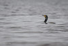 Double-crested Cormorant, Bay of Quinte, May 03 2013, #7865