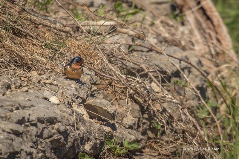 Barn Swallow, Prince Edward Point, May 4 2013, #8171