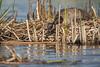 Nesting Canada Goose, East Lake, May 07 2013, #8399