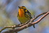 Blackburnian Warbler, Prince Edward Point,May 16 2013, #9363