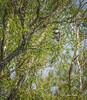 Kingfisher, Bay of Quinte, May 30 2013, #9491