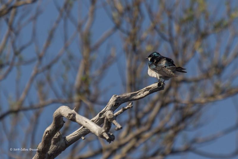 Tree Swallow,Bay of Quinte, May 2013