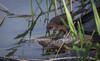Great-tailed Grackle, female,Henderson Bird Preserve, Nevada, April 03 2013, #0539