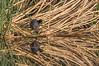 American Coot, Henderson Bird Preserve, April 3 2013, #0529