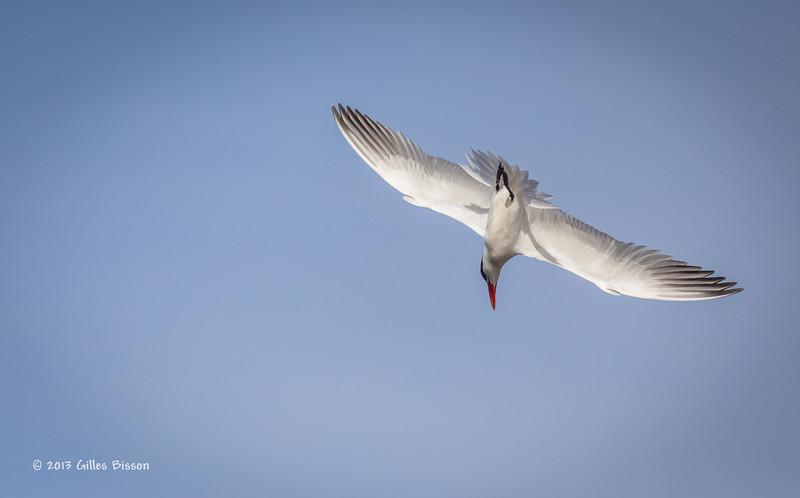 Caspian Tern, Bay of Quinte, May 7 2013,#6031