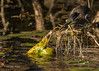 Green Heron catching a minnow, Oct 10 2013, #7430. Canon T3i-1/1250sec-F7.1-ISO400-LR5
