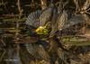 Green Heron fishing, Oct 10 2013, #7426. Canon T3i-1/1250sec-F7.1-ISO400-LR5