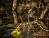 Green Heron, Oct 10 2013, #7424. Canon T3i-1/1250sec-F7.1-ISO400-LR5