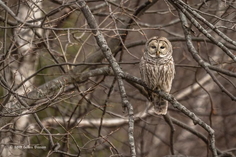 Barred Owl, November 13 2013, Sandbanks Provincial Park, Canon T3i-1/800-F5.6-ISO400-400mm-LR5