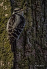 Downy Woodpecker, Prince Edward Point, April 24 2014, Canon T3i