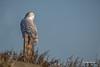 Snowy Owl, Gull Island, Presqu'ile Provincial Park, Dec 07 2014, Canon 6D, 100-400mm,1/1000,F6.3,ISO100