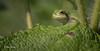 Tree Frog, Aug 10 2014, Belleville backyard, Canon 6D, 100mm Macro, 1/100,F11,ISO320
