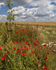 Poppy field, Stonehenge, England,June 29 2014
