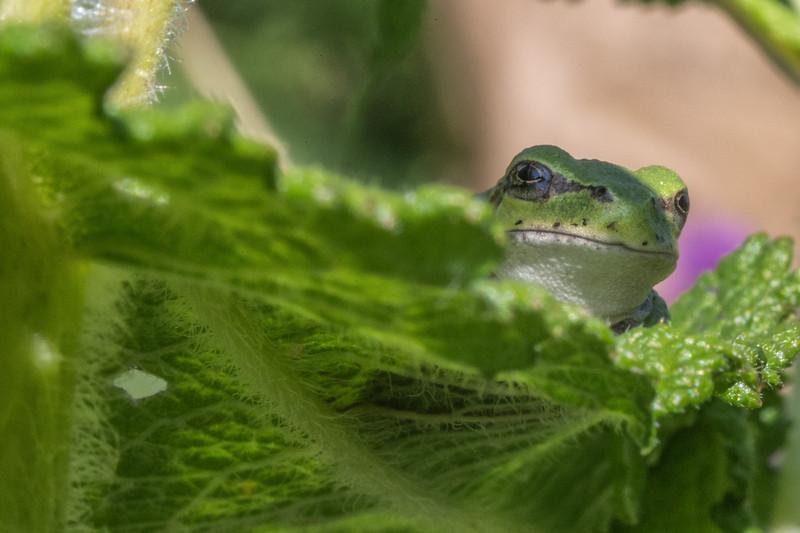 Tree Frog, Aug 10 2014, Belleville backyard, Canon 6D, 100mm Macro, 1/100,F32,ISO1600