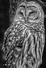 Barred Owl, March 3 2015, Presqu'ile Provincial Park, Canon 7D Mark II,1/1250,F6.3,ISO640