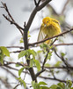 Yellow Warbler, May 16 2015, Prince Edward Point, Canon 7D Mark II, 100-400 mm, 1/1250, F7.1, ISO 800