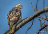 Young Red-tailed Hawk,Belleville, May 04 2015, Canon 7D MarkII, 350mm, 1/1000,F8.0,ISO400
