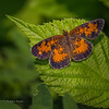 Northern Crescent Butterfly, July 10 2015, Rene Brunelle Provincial Park, Moonbeam Ontario, Canon 6D, 100mm Macro, 1/100, F7.1, ISO 50