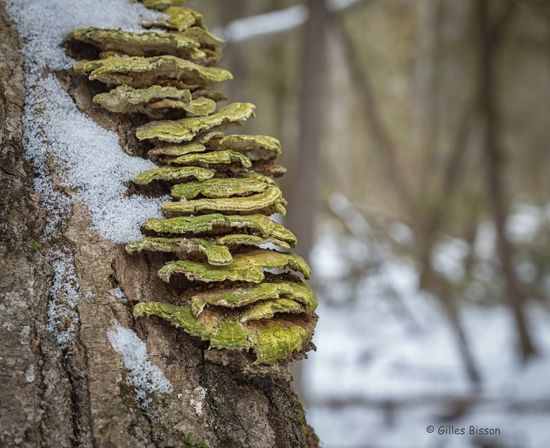 Cold Mushrooms, January 08 2016, Vanderwater Conservation area, Canon 6D, .3sec, F8.0, ISO 50