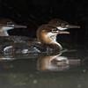 Juvenile Mergansers, Rene Brunelle Provincial Park, Remi Lake, Moonbeam, Ontario, July 22, 2016, Canon 7D Mark II, 1/1250, F5.6, ISO 800