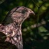Spruce Grouse hen, Algonquin Park, June 15, 2016, Canon 7D Mark II, 1/1250, F7.1, ISO 800