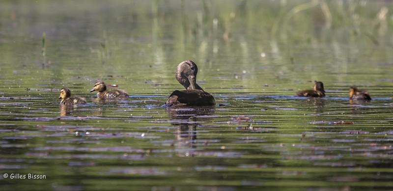 Black Duck family, June 14, 2016, Whitefish lake, Algonquin Park, Canon 7D MarkII, 1/1250, F8.0, ISO 800